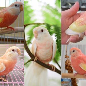 鳥好きな人 アマオオイって知ってる?