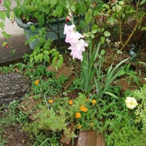 芙蓉の花が咲きました♪