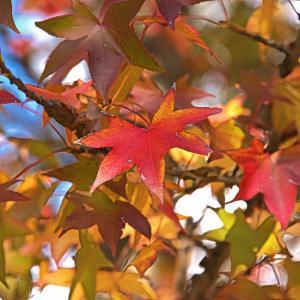 本日から立冬。遅くなりましたが緑交じりの紅葉を