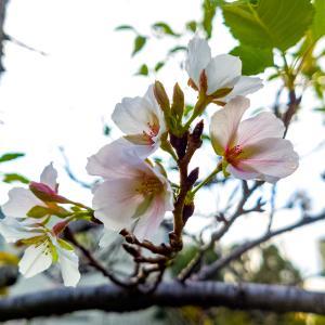松山城のすぐ下、桜が咲いていました