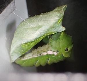 ナミアゲハ 蛹が幼虫おんぶしてる・編