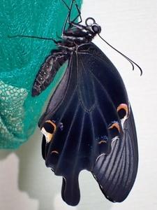 クロアゲハ 大きく美しい黒・編