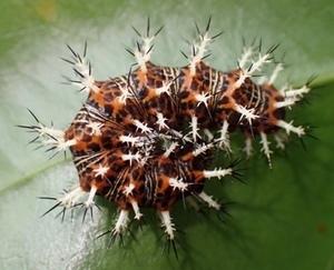 ルリタテハ トゲトゲ幼虫とキラキラ蛹の羽化・編