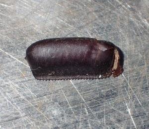 クロゴキブリの卵 プラスチックの小さいカプセル・編
