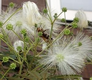 シロバナネムノキ ポンポン花とハラナガツチバチ