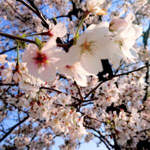 「染井吉野の」お花見