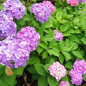 ■こまちゃん (紫陽花の季節)