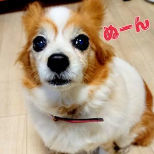 ■トコちゃん (マユ模様)
