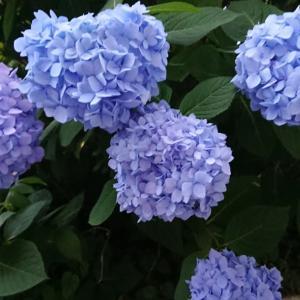 おりんちゃん(紫陽花と…)