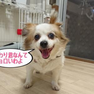 おりんちゃん(手術前日)