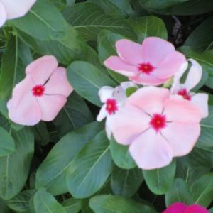 日日草のピンクと白