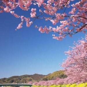 夜泣きで疲れれてても、桜は見たいですよね