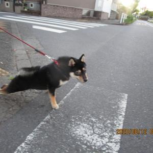 11歳の柴犬が仔犬を威嚇する