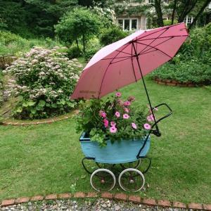 雨の中  カリブラコアとガクアジサイ