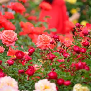 真岡市井頭公園のバラが見頃です🌹~真岡市のイベント情報と新着物件のご案内🏠