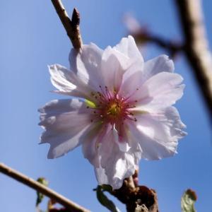 四季桜と菊の花など