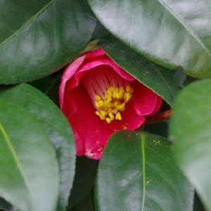 我が家の椿の花二種