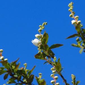 リキュウバイも咲き始め…白梅のメジロなど