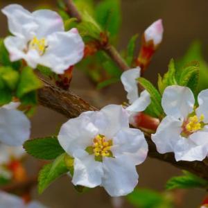 我が家の山桜桃梅【ユスラウメ】咲きはじめ