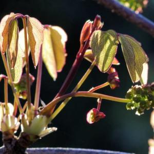 ミツバアケビ・桃の花