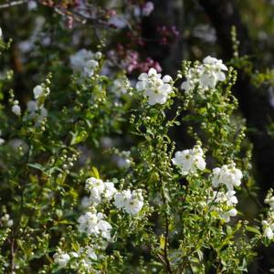 さくら野開花とリキュウバイ