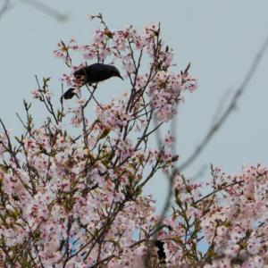 田舎の公園【石蓮寺みんなの森】の桜など