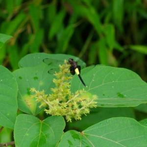 コシアキトンボとトンボ型のモミジの種子
