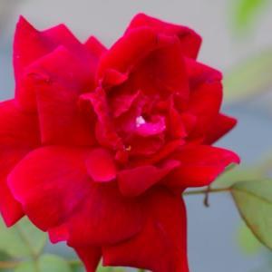 我が家で咲くバラの花
