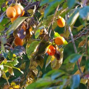 やっとメジロが柿を食す風景を撮影です
