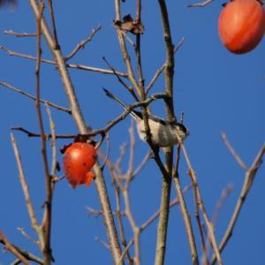 柿を啄ばむエナガの群れの一部