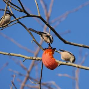柿を啄ばむエナガの群れの続編