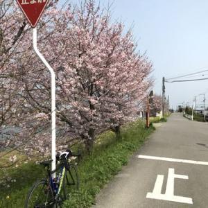 桜の開花状況確認ライド_見頃は4月に入ってからかな?!