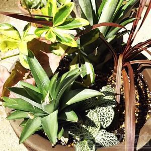 ちょっと難ありの観葉植物を使って、真夏の寄せ植え2020を![vol.1] イメトレ通り、できるかな?【oyageeの植物観察日記】