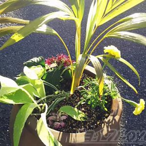 ちょっと難ありの観葉植物を使って、真夏の寄せ植え2020を![vol.2] 災害級の暑さで、植物たちもすでにバテ気味!?【oyageeの植物観察日記】
