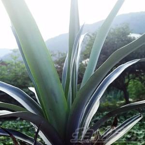 パイナップルの葉がこんなにでかくなっちゃった! 何故、一部分だけの披露? それは、全体像をお見せできない訳がある!【oyageeの植物観察日記】