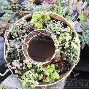 セダムを使って「簡単!お手軽!時短!リース」の出来上がり! ワンランクアップさせるには、今週の「趣味の園芸」のヒントあり!?【oyageeの植物観察日記】