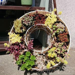 春は、元気な草系セダムの寄せ植えを! ただし、大事件勃発!? 気を付けないと、表層雪崩を起こします!【oyageeの植物観察日記】