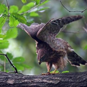 若鷹のエンゼル