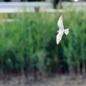 クロハラアジサシの飛翔