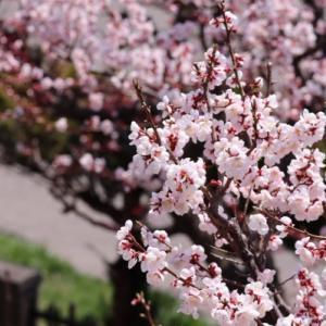 実家の庭の梅と梅ジャム
