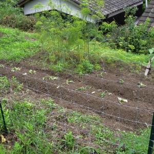 サツマイモの植付けとソテツの剪定