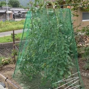 トマトの防鳥ネット