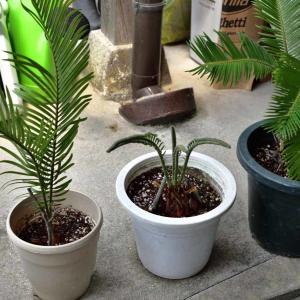 蘇鉄のわき芽を鉢植えに