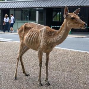 【悲報】奈良公園のシカ🦌、観光客から鹿せんべいを貰えなくなってやせたかなしい姿になる
