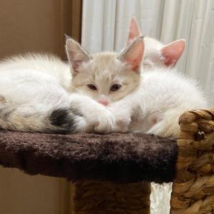 子猫の「マカロンちゃん」お見合い