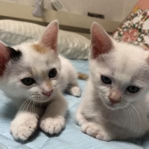 三毛、白姉妹のお見合い