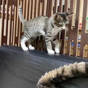 大人気の子猫「キンちゃん」