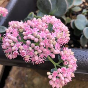 咲いたミセバヤ