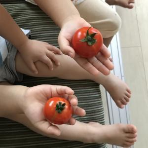 ベランダ菜園のトマト、20日間留守にしても大丈夫でした!