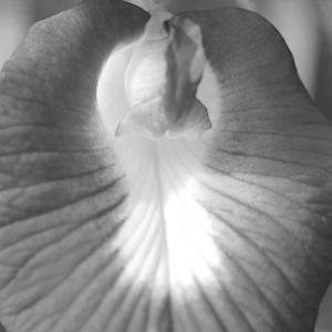 クリトリアという花【チョウマメ】